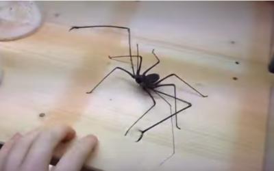 Lo sapevi che i ragni hanno le pinze?