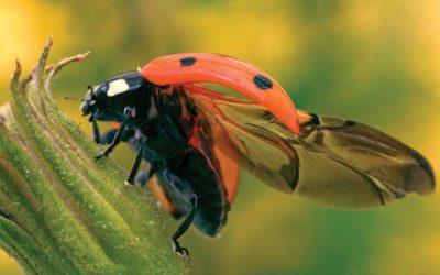 Qual è il segreto delle ali delle coccinelle?